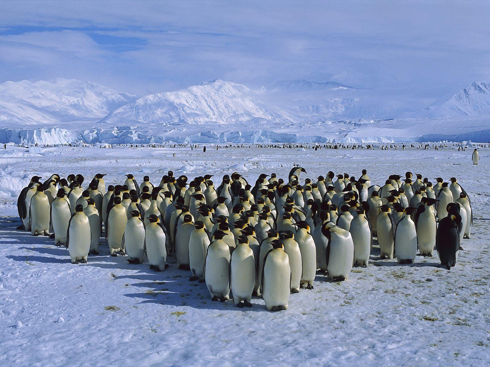pinguin_wallpaper